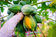 Ripe papaya on tree with bunch of fruits Royalty Free Stock Photography