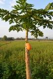 Ripe papaya on tree Royalty Free Stock Photography