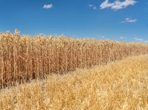 Ripe, partially harvested wheat Royalty Free Stock Image