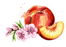 Ripe peach and branch with flowers. Watercolor hand drawn illustration, isolated on white background. Ripe peach and branch with flowers. Watercolor hand drawn stock illustration
