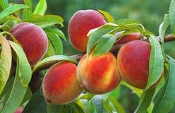 Ripe Peach Branch Stock Photos