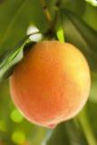 Ripe peach close up. Royalty Free Stock Photos
