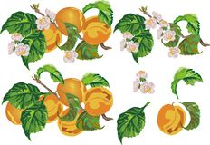 Ripe peach and flowers Stock Image