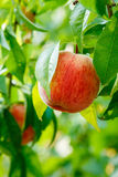 Ripe peach fruit on tree Royalty Free Stock Images