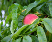 Ripe peach hanging on the branch with green leaves Stock Photography