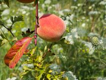 Ripe peach near a flower seed pod. Photography of a ripe peach positioned near a flower seed pod. The photography has been taken in July stock photos