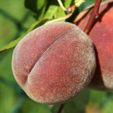Ripe peach on a peachtree Stock Photos