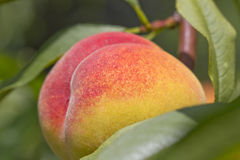 Ripe peach on the tree Stock Photo