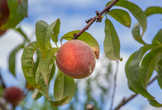 Ripe Peach on Tree Queen of Fruits Stock Photos