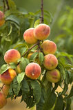 Ripe peaches. On a tree branch Royalty Free Stock Photography