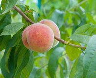 Ripe peaches. Ready to pick on tree branches stock image