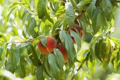 Ripe Peaches Royalty Free Stock Photos