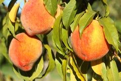 Ripe Peaches Stock Photos