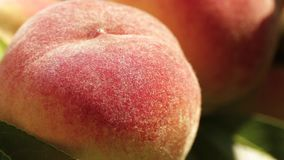 Ripe peaches on a branch close-up stock video