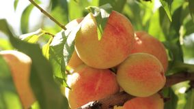 Ripe peaches on a branch stock footage