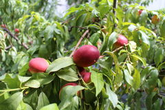 Ripe peaches on a branch. Peaches growing on a the peach tree Stock Images