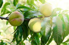 Ripe Peaches fruits on a branch of tree in garden. Stock Photos