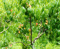 Peaches in the garden of the monastery Bachkovski Stock Photos
