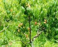 Peaches in the garden of the monastery Bachkovski stock photos