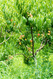 Ripe peaches in the garden of the monastery Bachkovski Stock Photography