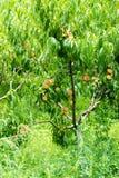 Ripe peaches in the garden of the monastery Bachkovski stock photography