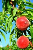 Ripe peaches hanging from a branch Stock Photography
