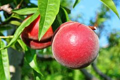 Ripe peaches hanging from a branch Royalty Free Stock Images