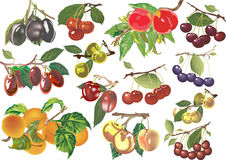 Ripe peaches, plums and apricots illustration Royalty Free Stock Images