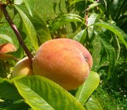 Peaches on the tree stock photography