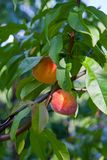Ripe peaches on tree branch. Close up view of peaches grow on peach tree branch with leaves. Under sunlight stock image
