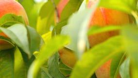 Ripe peaches on tree stock video