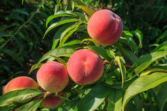 Ripe Peaches Royalty Free Stock Photo