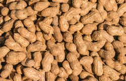 Ripe raw peanuts with peel stock image