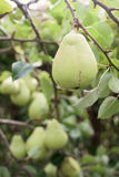 Ripe pear on a branch Stock Photo