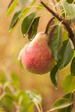 Ripe pear on a branch Royalty Free Stock Image