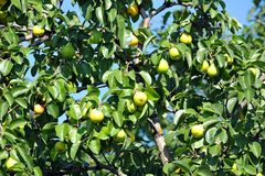 Ripe pear on the branch Stock Images