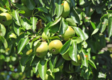 Ripe pear on the branch Stock Photography