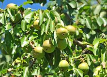 Ripe pear on the branch Royalty Free Stock Photo