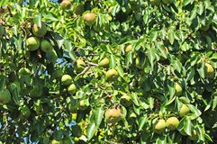 Ripe pear on the branch Royalty Free Stock Image