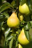 Ripe pear detail. Ripe pear in summer detail Stock Photography