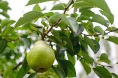 Ripe pear fruit on the branch. In the garden Royalty Free Stock Photo