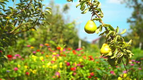 Ripe pear fruit on a branch in orchard on a bright summer day. Stock Image