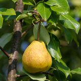 Ripe pear fruits Royalty Free Stock Photography