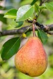Ripe pear fruits. Hanging on a tree branch Royalty Free Stock Images
