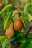 The ripe pear. Hanging from a tree stock images