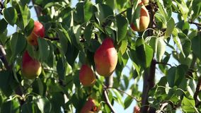 Ripe pear on a tree branch. Fruits of red ripe pears on a tree in summer close to stock video