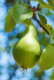 Almost ripe pear on tree branch Royalty Free Stock Photography