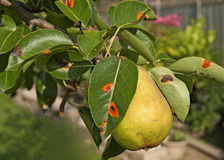 Ripe Pear on a tree with pear rust leaves. Pear rust leaves on the fruit tree Stock Photos