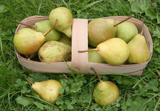 Ripe pears. On a grass in a light basket Stock Photography