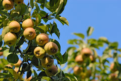 Ripe pears on a branch Royalty Free Stock Photos